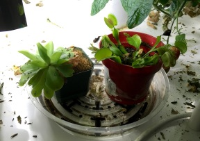 Butterwort and Fly Trap